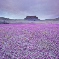desert-with-phacelia-scorpion-weed-flowering-once-in-several-years